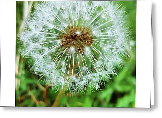 #macro #dandelion #dandelionclock Greeting Card by Natalie Anne