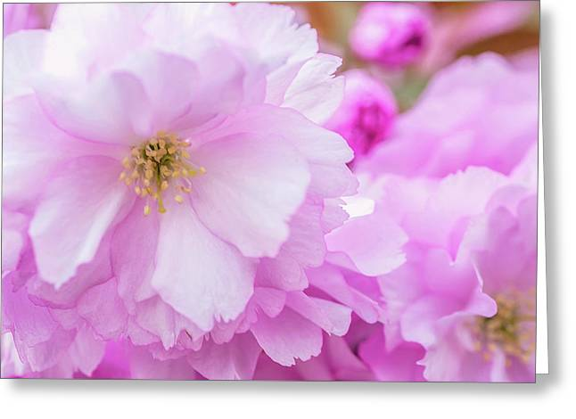Macro Kwanzan Cherry Flowers Greeting Card by Jenny Rainbow