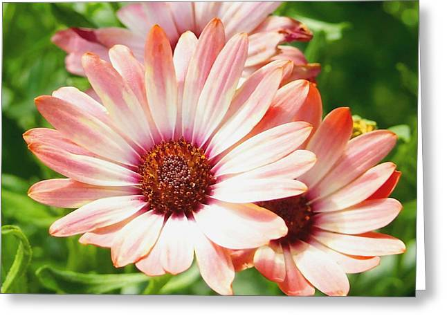 Macro Pink Cinnamon Tradewind Flower In The Garden Greeting Card by Amy McDaniel