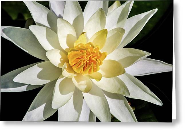 Macro Water Lily Greeting Card