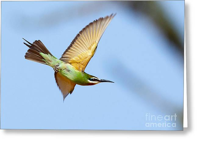 Madagascar Bee Eater In Flight Greeting Card