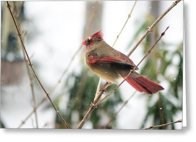 Madam Cardinal Greeting Card