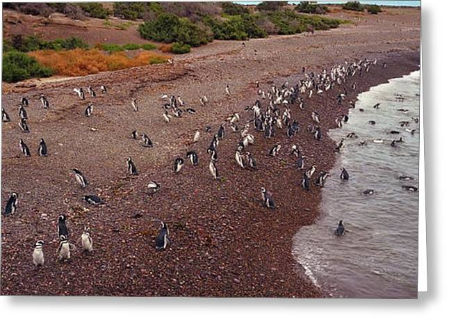 Seabirds Greeting Cards - Magellanic Penguin Colony Greeting Card by Crystal Garner