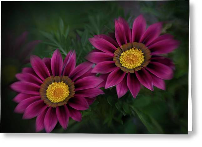 Greeting Card featuring the photograph Magenta African Daisies by David and Carol Kelly