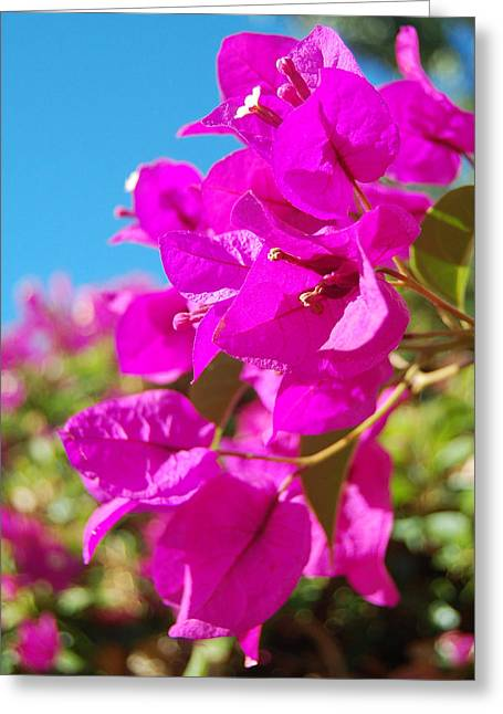 Magenta Bougainvillea Greeting Card by Jean Booth