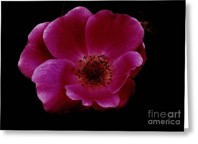 Magenta Rose Ll Greeting Card