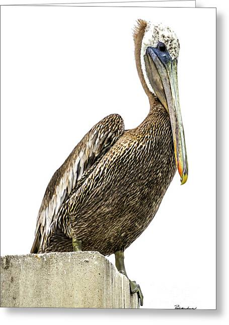 Majestic Gulf Shores Pelican 1071a Greeting Card