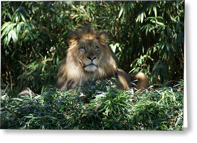 Greeting Card featuring the photograph Magestic Lion by Heidi Poulin