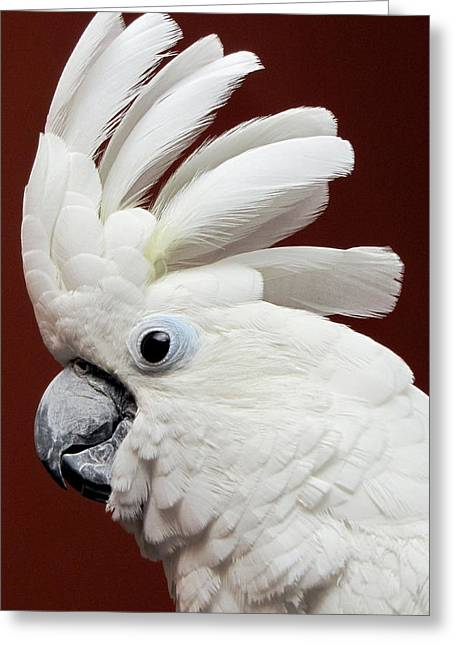 Maggie The Umbrella Cockatoo Greeting Card by Bob Slitzan