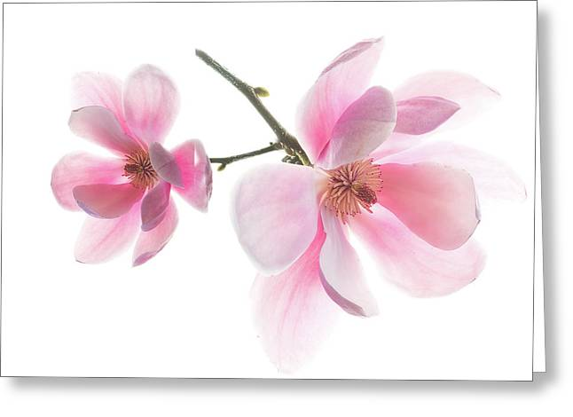 Magnolia Is The Harbinger Of Spring. Greeting Card
