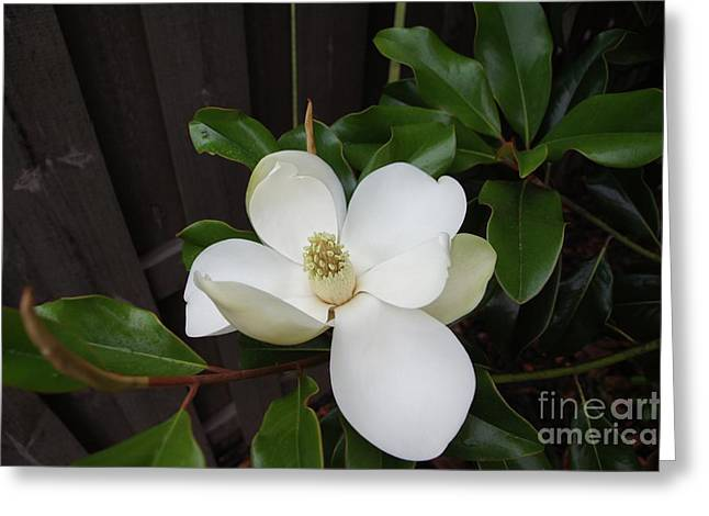 Magnolia 3 Greeting Card