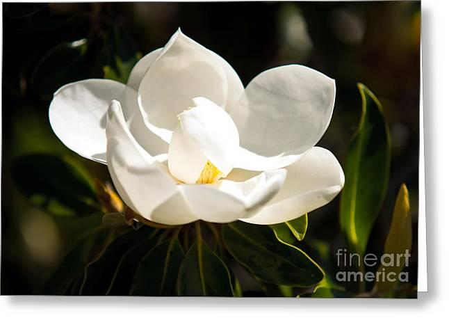 Magnolia Greeting Card by Baltzgar