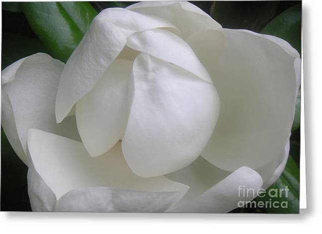 Magnolia Begins Its Blooming Greeting Card by Lucyna A M Green