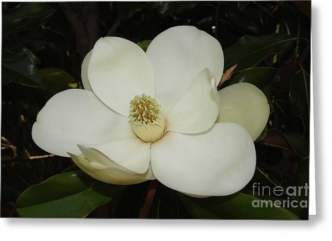 Magnolia Blossom 5 Greeting Card