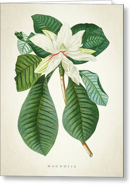 Magnolia Botanical Print Magnolia02 Greeting Card by Aged Pixel