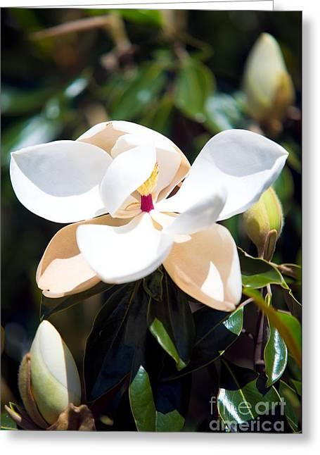 Magnolia Flower Greeting Card by Baltzgar