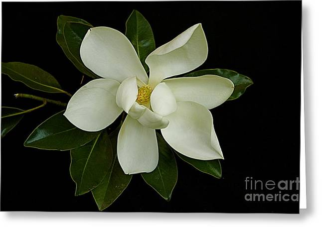 Greeting Card featuring the photograph Magnolia Flower by Nicola Fiscarelli