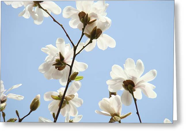 Magnolia Flowers White Magnolia Tree Flowers Art Spring Baslee Troutman Greeting Card by Baslee Troutman