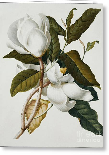 Magnolia Greeting Card by Georg Dionysius Ehret