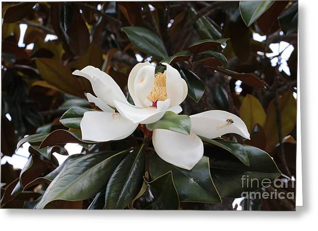 Magnolia Grandiflora With Leaves Greeting Card