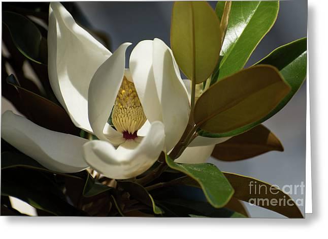 Magnolia Grandiflora Greeting Card by Zina Stromberg