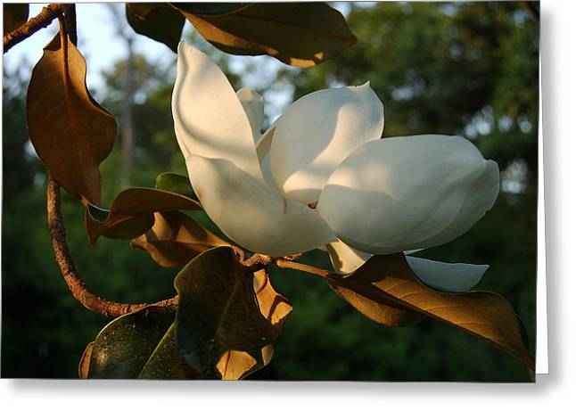 Magnolia Greeting Card by Heather S Huston