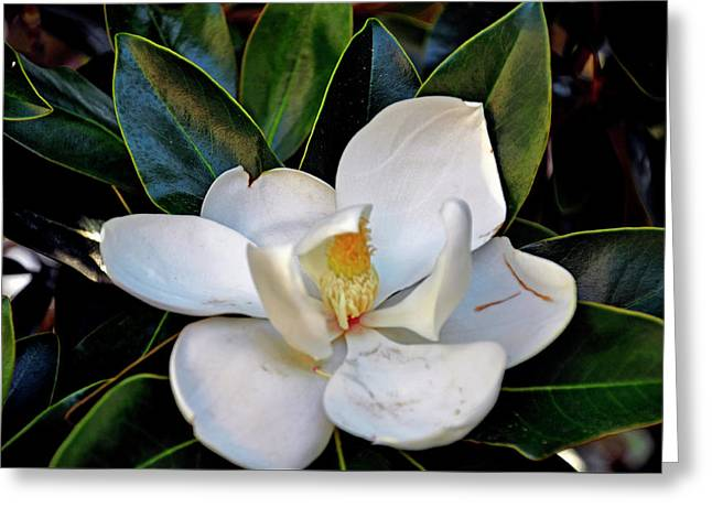 Greeting Card featuring the photograph Magnolia by Helen Haw