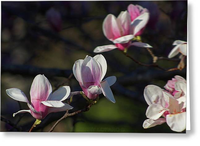 Magnolia Greeting Card by Jerry LoFaro