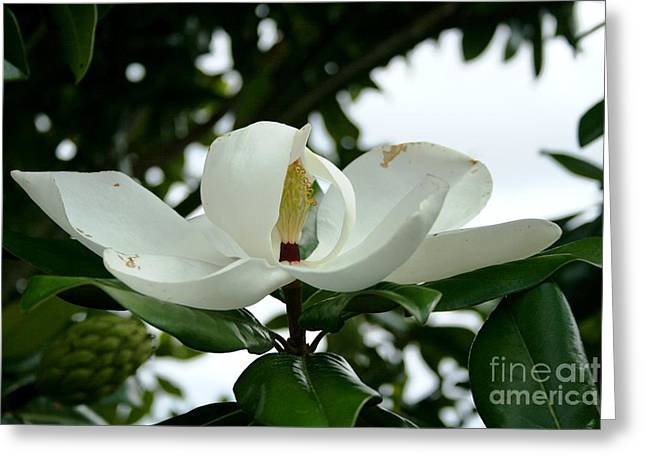 Greeting Card featuring the photograph Magnolia by John Black