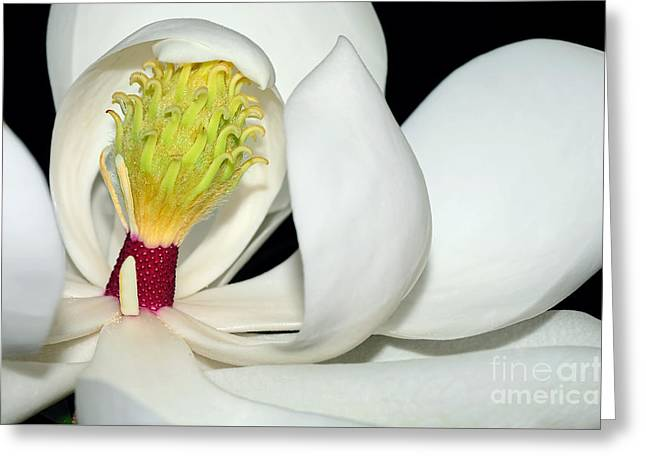 Magnolia Little Gem By Kaye Menner Greeting Card by Kaye Menner