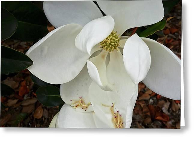 Magnolia Greeting Card by Matthew Bamberg