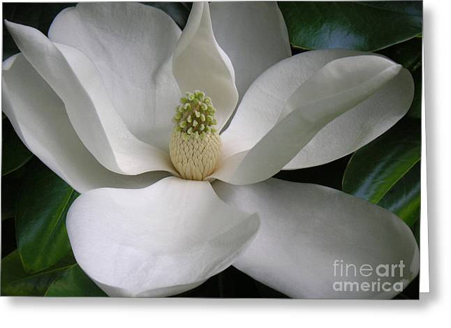 Magnolia Taking In The Light Greeting Card by Lucyna A M Green