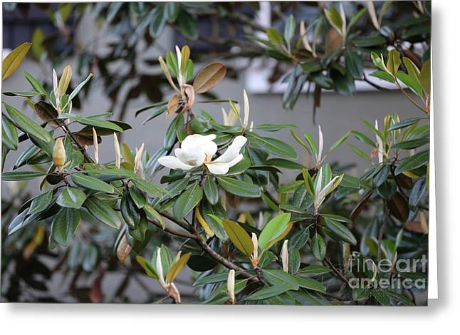 Magnolia Time Greeting Card