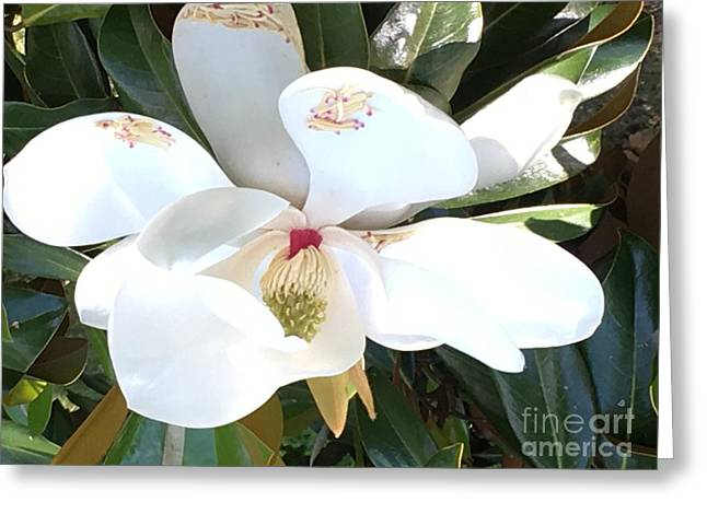 Greeting Card featuring the photograph Magnolia Tree Bloom by Debra Crank