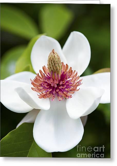 Magnolia Wieseneri Flower Greeting Card by Tim Gainey