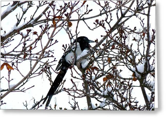Greeting Card featuring the photograph Magpie In A Snowstorm by Will Borden