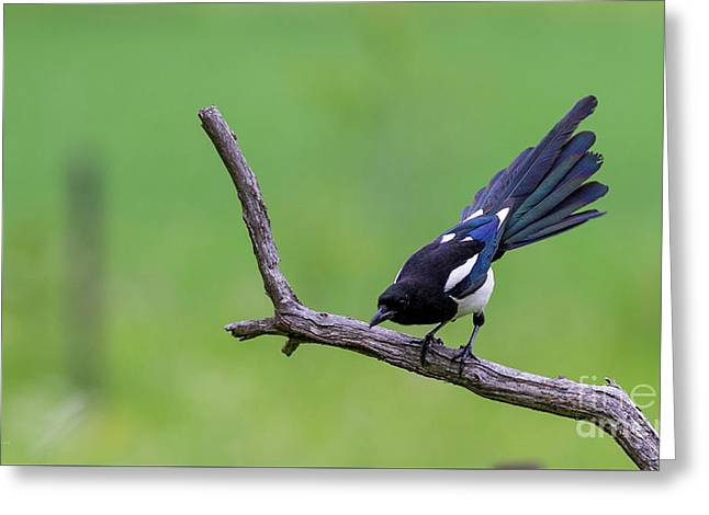 Magpie's Tail Greeting Card by Torbjorn Swenelius