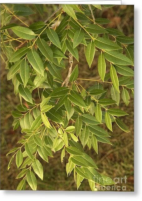 Mahogany Leaves On A Branch Greeting Card by Inga Spence