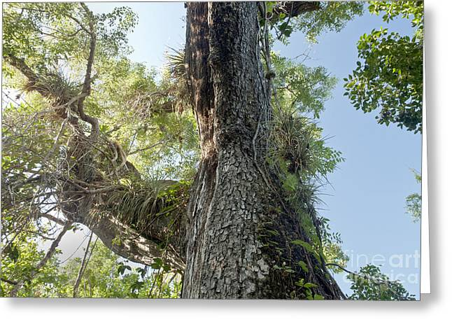 Mahogany Tree In The Everglades Greeting Card by Inga Spence
