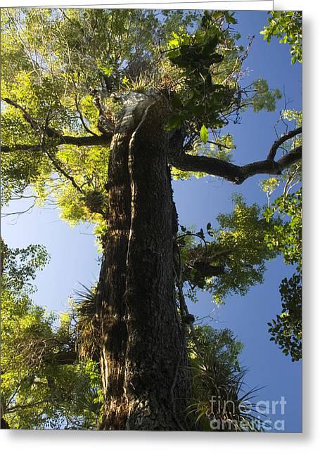 Mahogany Tree Greeting Card by Inga Spence