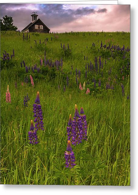 Maine Lupines And Home After Rain And Storm Greeting Card