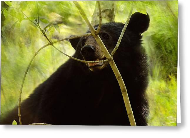 Majestic Black Bear Greeting Card by TnBackroadsPhotos