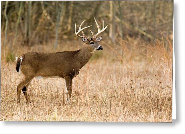 Majestic Buck Greeting Card by Timothy McIntyre