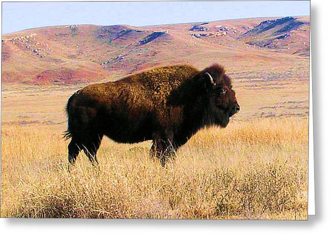 Majestic Buffalo In Kansas Greeting Card