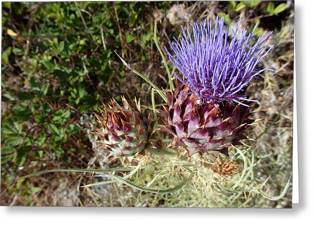 Majestic - Cirsium Purple Plume Thistle Greeting Card