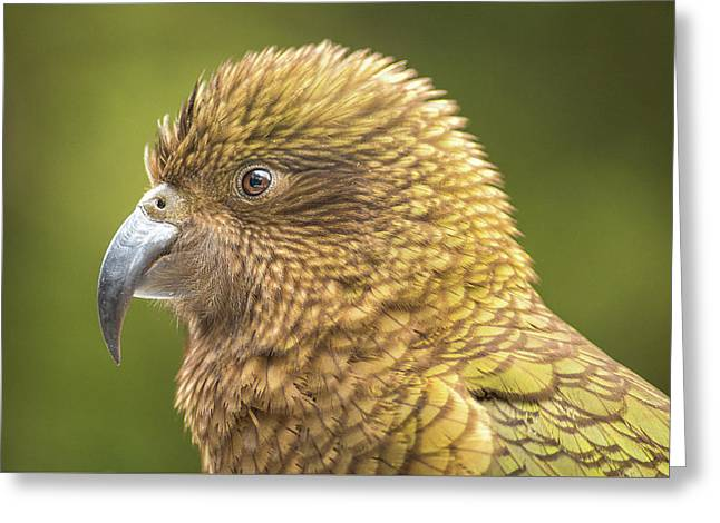Kea Portrait Greeting Card