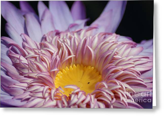 Majestic Foxfire Water Lily...   # Greeting Card
