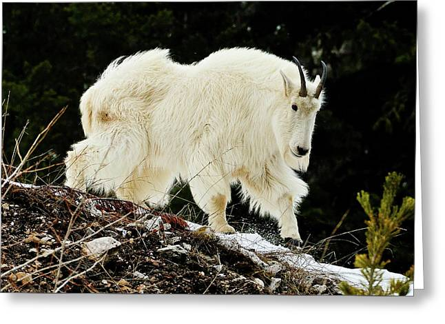 Majestic Mountain Goat Greeting Card by Greg Norrell