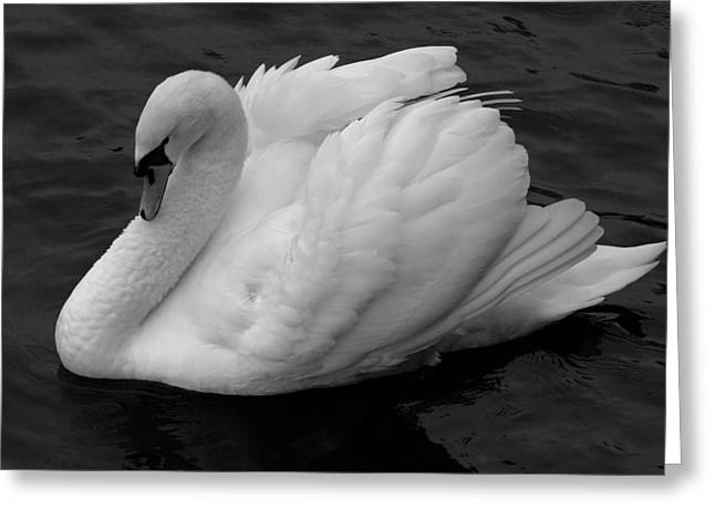 Majestic Mute Swan Greeting Card by Pierre Leclerc Photography