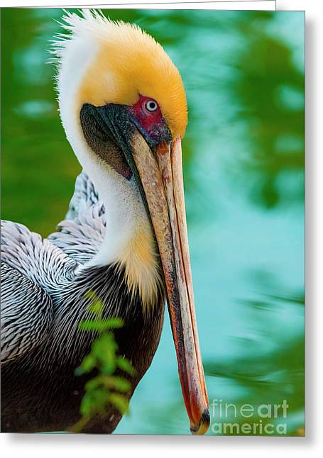 Majestic Pelican 48 Greeting Card